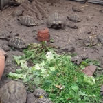 Griechische Landschildkröten NZ 2008 - 2012 zu verkaufen