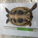 Griechische Landschildkröten NZ 2016 zu verkaufen