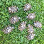 Griechische Landschildkröten NZ 2019 zu verkaufen