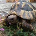 Verkaufe Griechische Landschildkröte