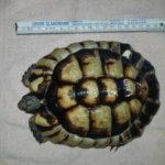 Breitbandschildkröten Testudo Marginata NZ 2009