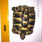 Verkaufe Griechische Landschildkröte von 2014