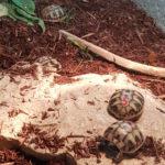 Verkaufe Griechische Landschildkröten - Nachzucht 2019
