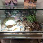 Breitrandschildkröte zu verkaufen