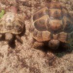 Griechische Landschildkröten in Bonn zu verkaufen