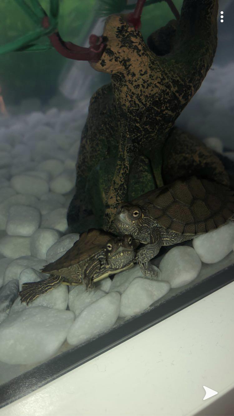 Oachita höckerschildkröten im Aquaterrarium
