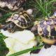 Griechische Landschildkröten im Gehege