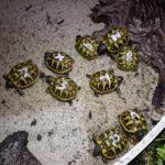 Griechische Landschildkröten NZ aus 2019 zu verkaufen
