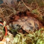 Griechische Landschildkröten von 2019 zu verkaufen