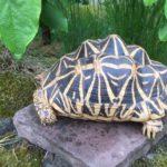 Wunderschönes großes Sternschildkröten Weibchen Sri Lanka Unterart Geochelone elegans