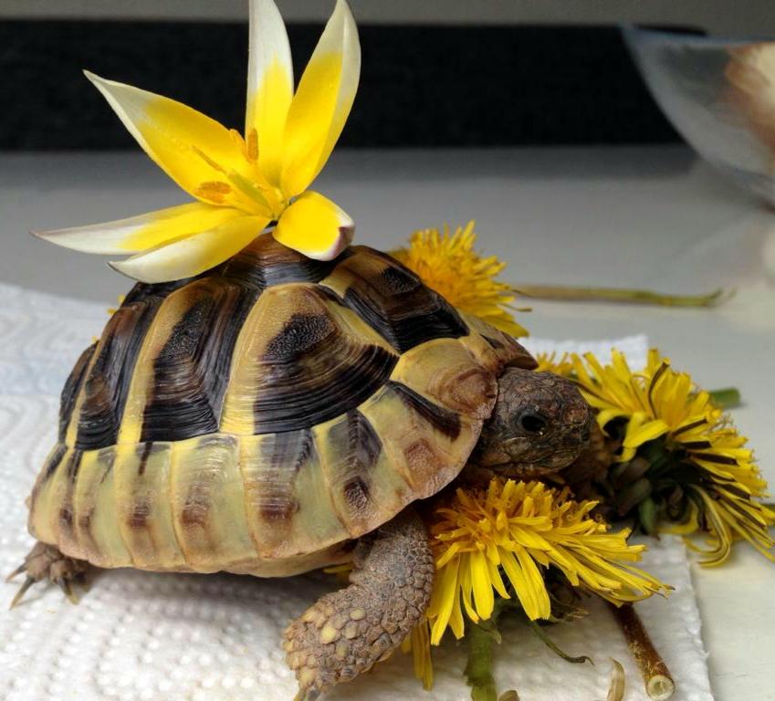 CANDY die Landschildkröte :)