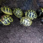 Griechische Landschildkröten THB Mit EU- Bescheinigungen Nachzucht 2019 aus Hobbyzucht