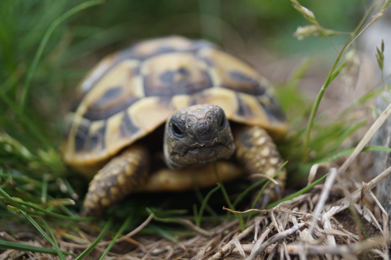 Unsere kleine Slowly (Griechische Landschildkröte)