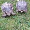 Breitrandschildkröten zu verkaufen