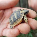 Verkaufe Griechische Landschildkröte (THB) NZ 2019