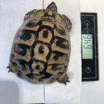 Griechische Landschildkröte THB zu verkaufen