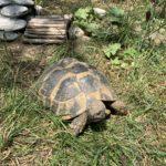 Griechische Landschildkröten (1996, 2008, 2009) zu verkaufen