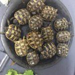 Griechische Landschildkröten NZ 2019 aus Hobbyzucht