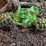 Griechische Landschildkröten PLZ 37191