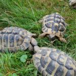 Verkaufe Griechische Landschildkröten (THB) NZ 2011