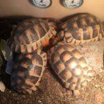 Breitrandschildkröten NZ 2015 zu verkaufen