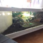 Costa-Rica-Pracht-Erdschildkröte (Rhinoclemmys pulcherrima manni)