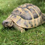 Griechische Landschildkröte 9 Jahre alt