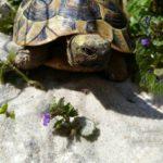 Griechische Landschildkröte NZ 2012 zu verkaufen