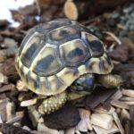 Griechische Landschildkröte geb. im Januar 2019