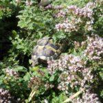 Griechische Landschildkröten NZ 18 u. 19