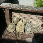 Freigehege-Begrenzungen für Schildkröten / Gehege-Umrandung Landschildkröten