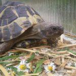 Männliche Griechische Landschildkröten und Breitrandschildkröten
