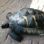 Maurische Landschildkröte weiblich 1996 geboren zu verkaufen