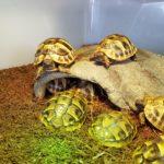 Nachzucht griechische Landschildkröten zu verkaufen