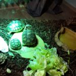 Spornschildkröten NZ 2019 /Dezember
