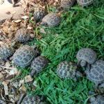 Vierzehenlandschildkröten