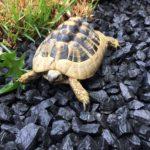 Landschildkröte gefunden