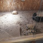 Äqyptische Landschildkröten 2014/2015 zu verkaufen
