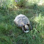 1,1 Griechische Landschildkröten zu verkaufen