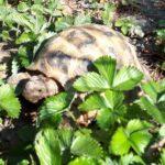 Russische Landschildkröte vermisst seit 27.05.20 in 42799 Leichlingen
