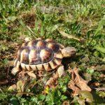 Breitrandschildkröte vermisst in Oberstenfeld