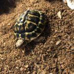 Griechische Landschildkröte THH zu verkaufen