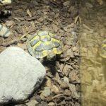 Griechische Landschildkröte zu verkaufen in Linz (Österreich)
