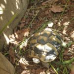 Griechische Landschildkröten Babys zu verkaufen