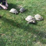 Griechische Landschildkröten Gruppe 3 Weibchen, 1 Männchen
