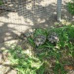 Griechische Landschildkröten NZ 2016 bis 2018