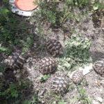 Griechische Landschildkröten NZ 2018/ 2019 zu verkaufen