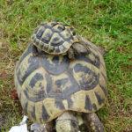 Griechische Landschildkröten THB Nachzucht / Schildkröten