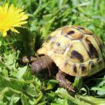 Griechische Landschildkröten (THB) aus 2019
