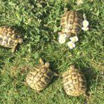 Griechische Landschildkröten (Testudo hermanni) NZ 2017, 2018, 2019 zu verkaufen